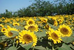 Sunflower-Maze Allied Botanical Corporation