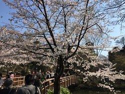 桜の名所で吉祥寺の象徴