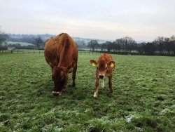 Calf and Cow grazing in the paddock