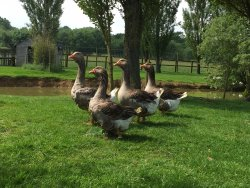 Our Toulouse Geese which can be seen on our Tractor Tour Ride