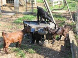 Ye Olde Goat Farm