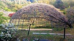 北九州市河內藤園 紫藤賞花