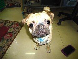'Bosley' the pug