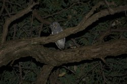 Owl in Camping site trees