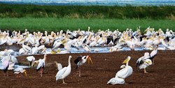 """Pelican in Lake Manyara"""