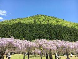 白井大町藤公園
