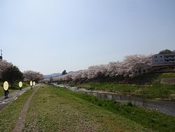 Cherry Trees along the Minamiasa River bank