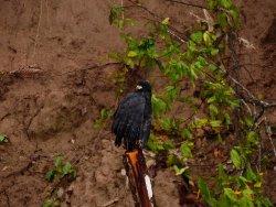 Great Black HAWK, after heavy rain - Tambopata