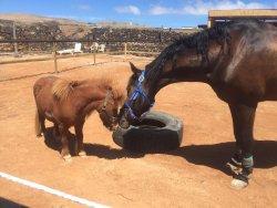 Horses Lanzarote