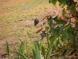 Scrub turkeys roam the park