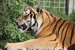 Oaza Sibirskeho Tigra (Oasis of Siberian Tigers)