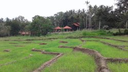 The paddy fields