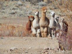 Rattlesnake Creek Alpacas