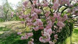 Maizuru Park Botan Shakuyaku Garden