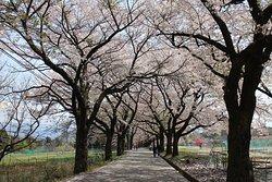 Sanehara Sakura Street