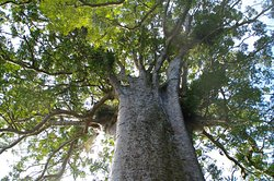 Square Kauri Tree