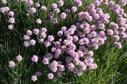 Springtime Beauty near Classiebawn Castle