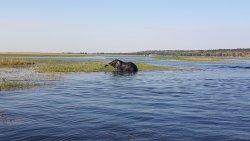 Elephant crossing Chobe river