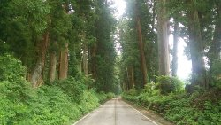 Cryptomeria Avenue