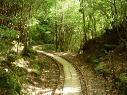 Yaksushima Trecking, Jomon Japanese Cedar Course