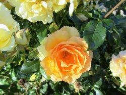 Owen Rose Garden