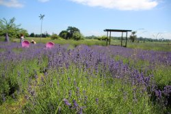 Sauvie Island Lavender Farm