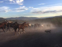 The evening stampede of the horses out to the pasture until morning