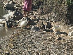 Gideros kenarında ördekler