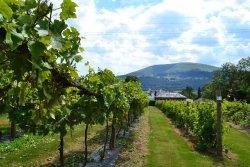 The Sugarloaf Vineyard