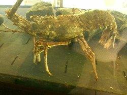 Aragosta in acquario 2