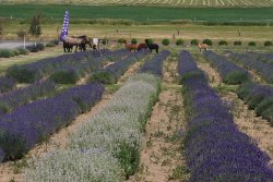 Cascade Lavender