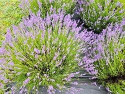 Fragrant Isle Lavender Farm & Shop