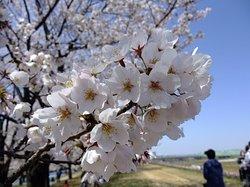 Arakawa Akabane Cherry Blossoms