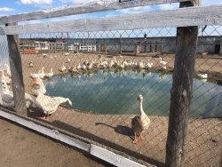 Ostrich Farm Straus Zabaikalya