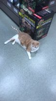 King Henry the resident cat at the pet store