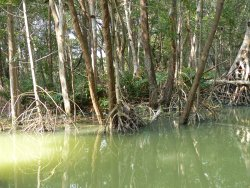 Mangroves of Dzinitun
