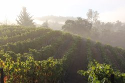 Our estate vines soak up the sun as the morning fog begins to clear.