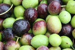 Dry Creek Olive Co. olives after harvest.