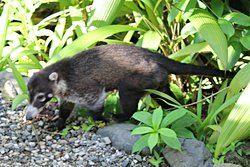Coati on its daily morning rounds around the main lodge