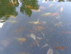 Piękne ryby w stawie
