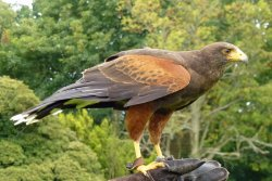 Icarus Falconry