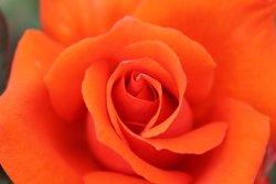 Great Rose