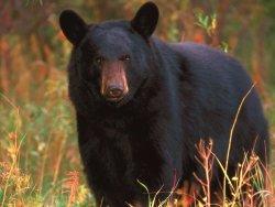 Observation de l'ours noir & Pêche Blanche Lac St Jean