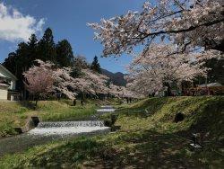 Sakura Trees Along Kannonji River