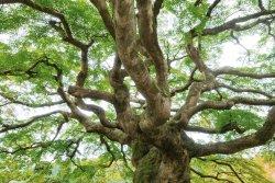 美しく雄大な枝ぶりのコミネモミジ(カエデ)