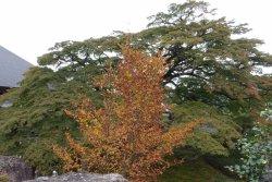 美しく雄大な枝ぶりのコミネモミジ(カエデ)3