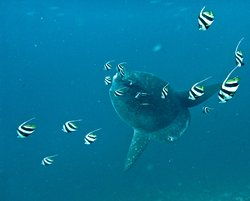 Mola Mola (Oceanic Sunfish) In season June to November