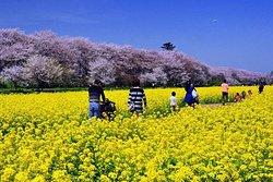 Satte Cherry Blossom Matsui