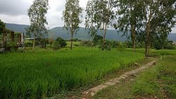 Paddy field behind the room