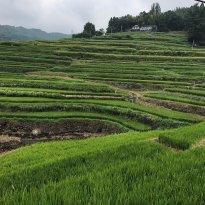 Uchinari Rice Terraces
